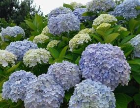 수국학명: Hydrangea macrophylla (Thunb.) Ser.범의귀과. 낙엽활엽관목. 꽃 6~7월원산지 중국. 현재는 일본에서 개량된 품종이 널리 심어지고 있습니다.커다란 꽃송이는 꽃받침만으로 이루어져 있고 암술과 수술이 없어 열매를 맺지 못한답니다. 흙이 산성이면 푸른빛이 돌고 알칼리 성분이면 분홍빛이 짐해지기 때문에 흙에 첨가제를 넣어 꽃 색깔을 마음대로 바꾸기도 합니다.이름만큼이나 물을 유난히 좋아하는 수국(水菊)은 조금만 건조해도 금세 말라버리지만 적합한 환경 속에서는 어느 꽃보다도 오래 피어 있는 꽃입니다. 수국의 꽃말 중에 변심이 들어 있는 것도 산성이 강하면 푸른 색으로, 알칼리성이 강하면 붉은 색으로 변하는 꽃빛에서 비롯된 것입니다.산수국 (Hydrangea serrata)학명 : Hydrangea serrata for. acuminata 범의귀과 낙엽활엽관목 꽃 7~8월 열매 10월화단에 심어 기르는 수국과 가까운 형제 나무로 산에서 자라기 때문에 산수국이라 합니다. 7월이 되면 산수국 가지 끝에는 커다란 접시모양의 꽃송이가 하늘을 보고 피며, 가장자리에만 꽃잎을 가진 꽃이 빙 둘러 있고 이 꽃은 암술과 수술은 없고 꽃받침 조각만으로 이루어진 꽃이며, 가운데 자잘한 꽃들은 꽃잎은 없지만 암술과 수술을 가지고 있어 열매를 맺을 수 있는 양성화입니다.